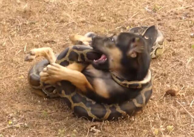 Cachorro vs. pitón: ¿por qué este vídeo genera polémica en la red?