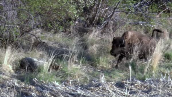 El terrible desenlace a vida o muerte entre un lobo y un pequeño bisonte - Sputnik Mundo