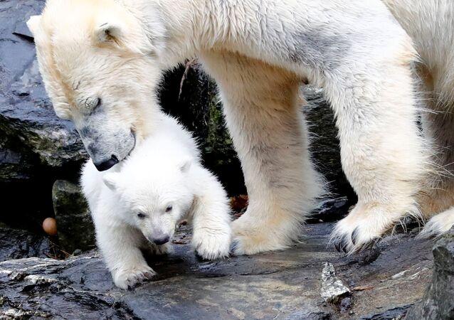 Un zoológico berlinés presenta a su nuevo oso polar