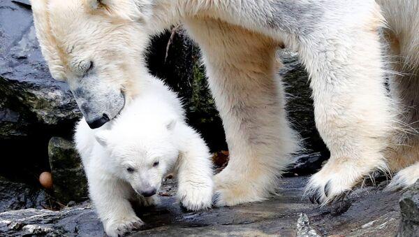 Un zoológico berlinés presenta a su nuevo oso polar - Sputnik Mundo