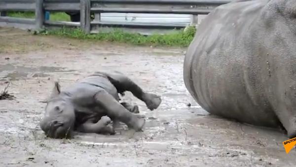 Así es el primer baño de barro de una pequeña rinoceronte - Sputnik Mundo