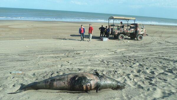 El zifio de Héctor varado en la costa de Argentina - Sputnik Mundo