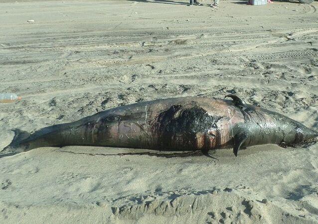 El zifio de Héctor varado en la costa de Argentina