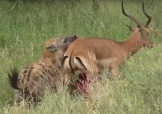 Un antílope desgarrado intenta escapar de una hiena