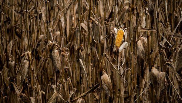 Cultivos de maíz - Sputnik Mundo