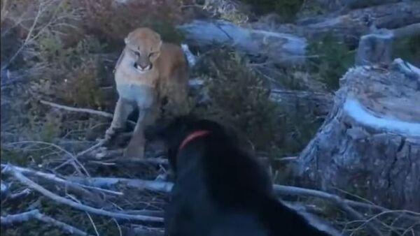 Un perro se enfrenta a un puma - Sputnik Mundo