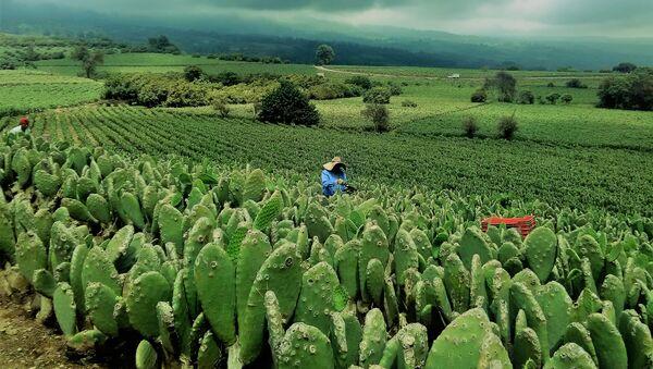 Una plantación de nopales en México - Sputnik Mundo
