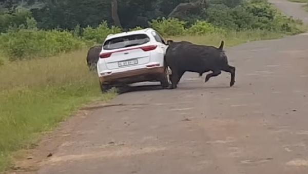 Como un trapo rojo: un búfalo embiste un auto - Sputnik Mundo