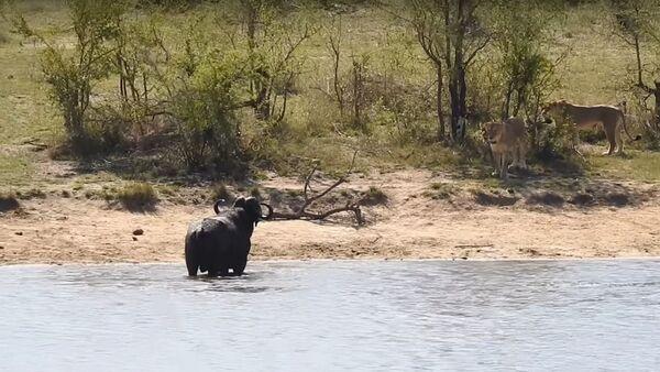 Un búfalo contra leones y cocodrilo - Sputnik Mundo