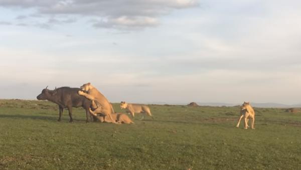 Una manada de leones ante un suculento festín - Sputnik Mundo