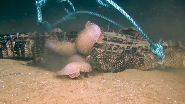 Así devoran un enorme caimán en el golfo de México los isópodos gigantes - Sputnik Mundo