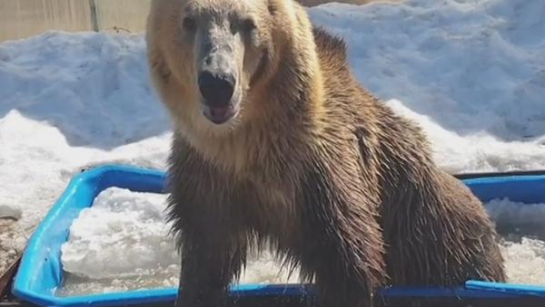¡Como una celebridad! Este oso ruso disfruta de la vida en una bañera - Sputnik Mundo