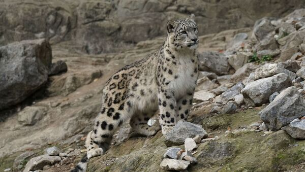 Un leopardo de las nieves - Sputnik Mundo