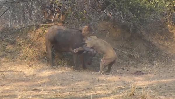 Una implacable batalla entre un león y un búfalo termina de manera inesperada - Sputnik Mundo