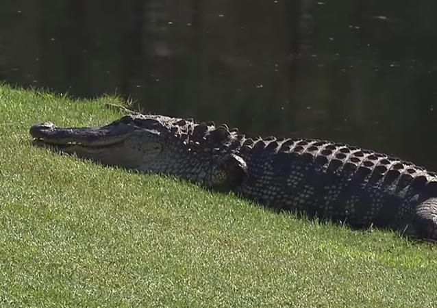 Un cocodrilo es expulsado de un juego de golf en EEUU