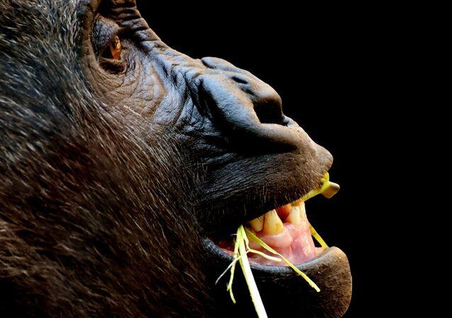 Un gorila (archivo)