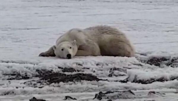 ¿Cómo acabó este oso polar a cientos de kilómetros de casa? - Sputnik Mundo