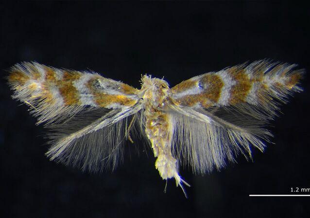 Una polilla Phyllonorycter ivani, hasta ahora desconocida, descubierta en Siberia