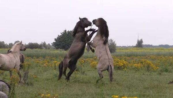 Batalla de caballos - Sputnik Mundo