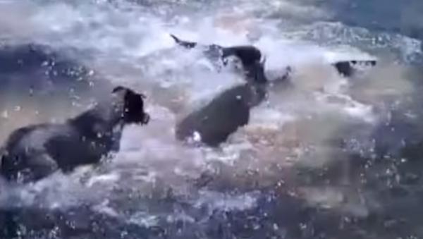 Amistades peligrosas: unos perros juegan con un tiburón - Sputnik Mundo
