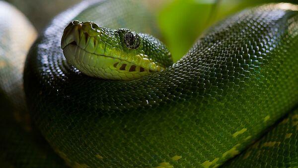 Una serpiente, imagen referencial - Sputnik Mundo