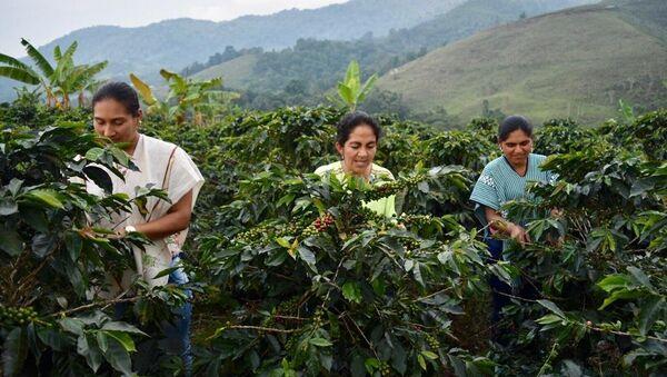 Un total de 45 excombatientes de FARC, así como miembros de la comunidad del municipio de Dolores (Tolima, centro-occidente), hacen parte de un ambicioso proyecto de exportación de café orgánico a Estados Unidos y varios países de Europa como parte del proceso de implementación de paz en Colombia. - Sputnik Mundo
