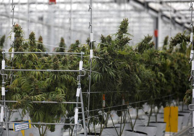 Una plantación de cannabis