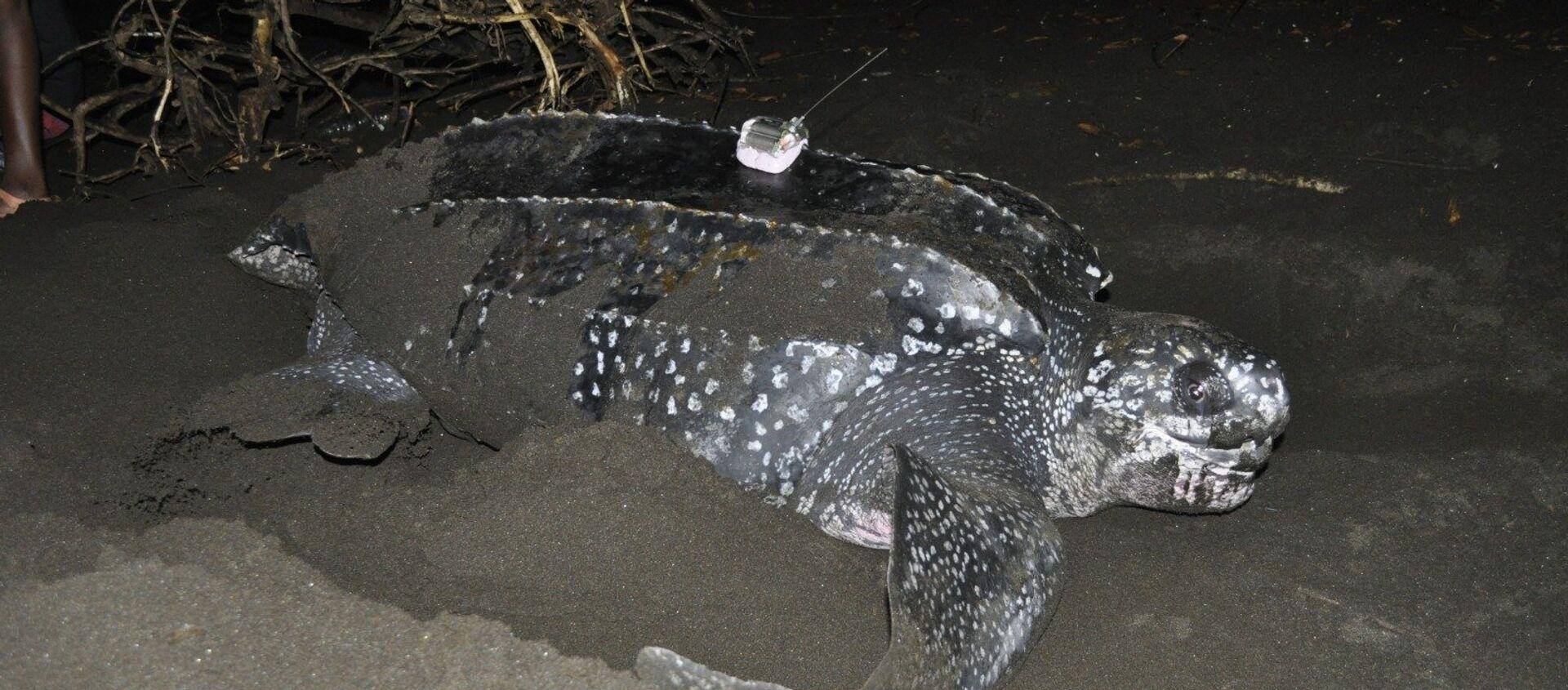 Una tortuga laúd siendo estudiada en la costa de Guinea Ecuatorial - Sputnik Mundo, 1920, 06.05.2019