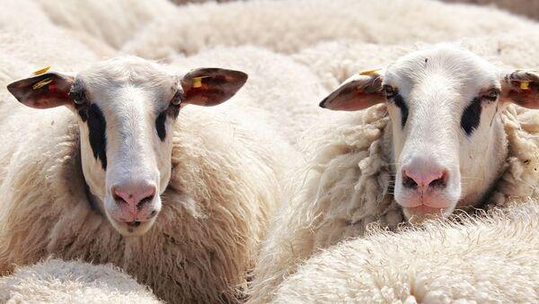 Unas ovejas, referencial - Sputnik Mundo