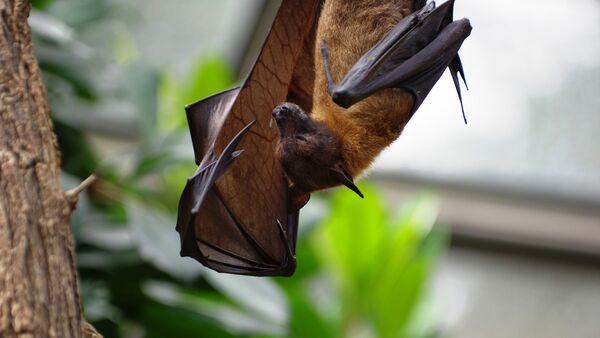 Un murciélago, imagen referencial - Sputnik Mundo
