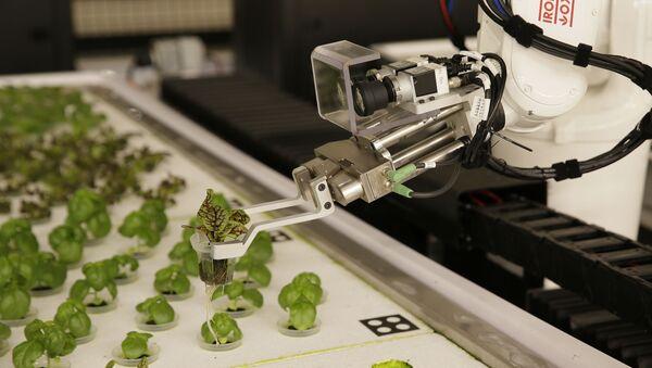 Robots plantan lechugas en California, EEUU - Sputnik Mundo