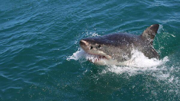 Tiburón (imagen referencial) - Sputnik Mundo