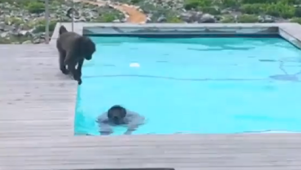 ¡Pool party! Unos babuinos disfrutan del agua fresca en la piscina de un hotel - Sputnik Mundo