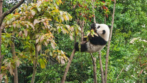 Un oso panda, imagen referencial - Sputnik Mundo