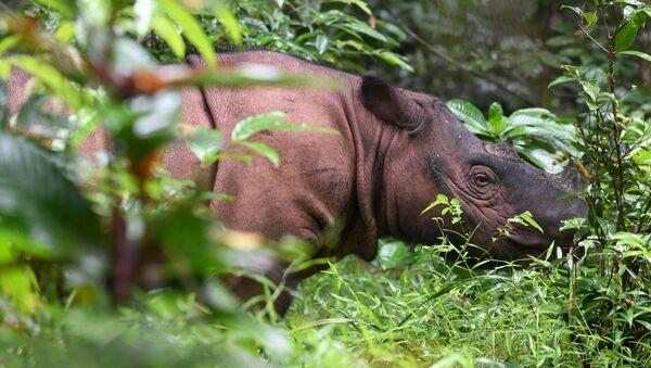 Rinoceronte de Sumatra (imagen referencial) - Sputnik Mundo