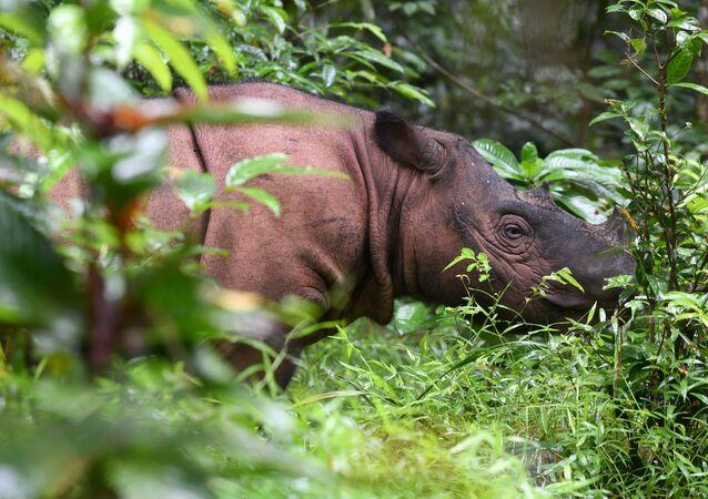 Rinoceronte de Sumatra (imagen referencial)