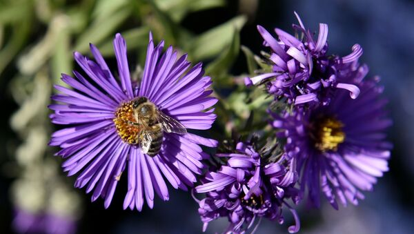 Una abeja en una flor - Sputnik Mundo