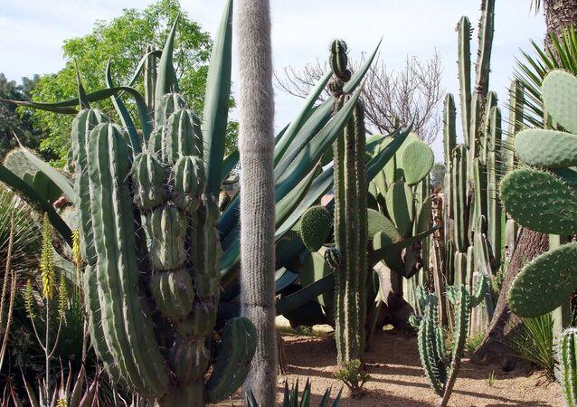 Cactus en México