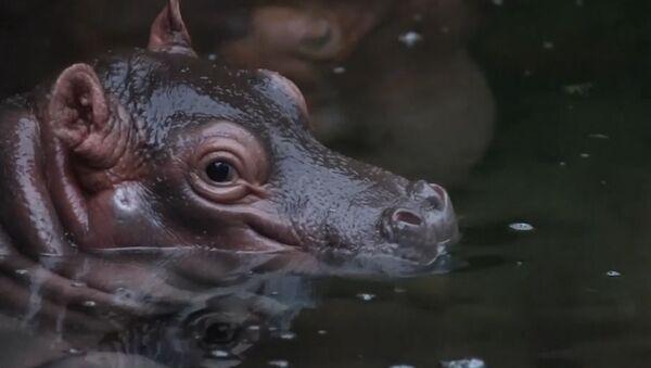 ¡Alerta de ternura! Este lindo hipopótamo bebé te robará el corazón - Sputnik Mundo