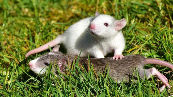 Unas ratas, referencial - Sputnik Mundo