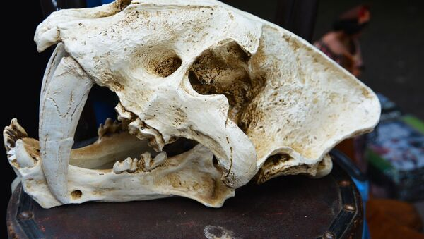 Fósil de un tigre diente de sable (archivo) - Sputnik Mundo