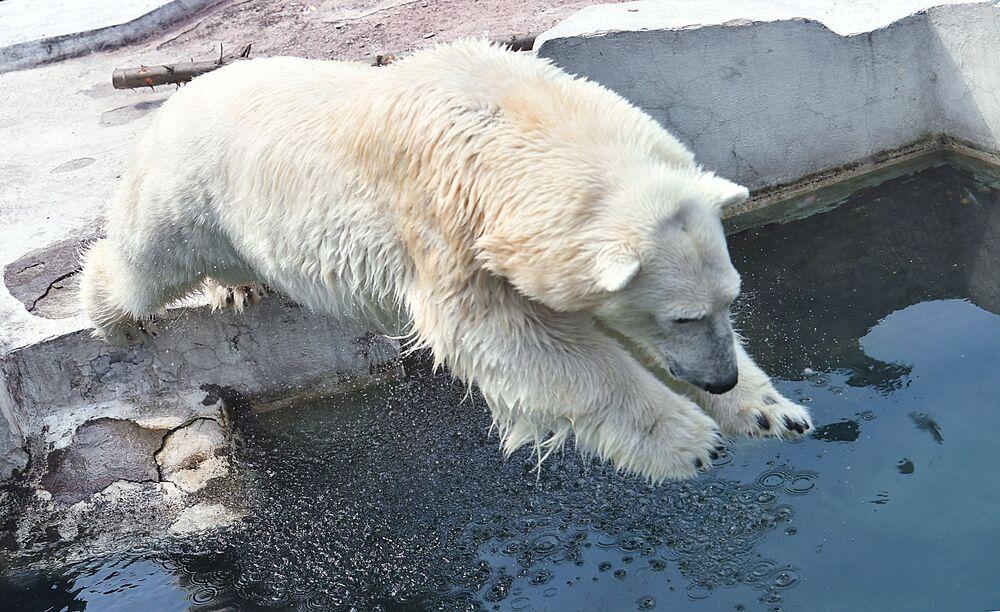 Un oso polar salta a un estanque en el zoológico de Moscú para refrescarse.