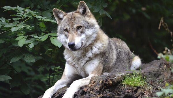 Un lobo, imagen referencial - Sputnik Mundo