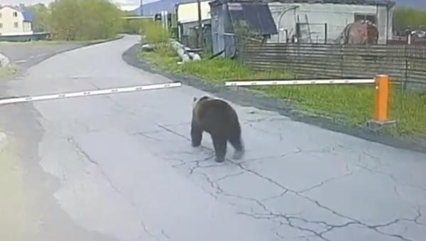 Mientras tanto en Rusia: un oso entra sin permiso en un aeropuerto de Kamchatka  - Sputnik Mundo