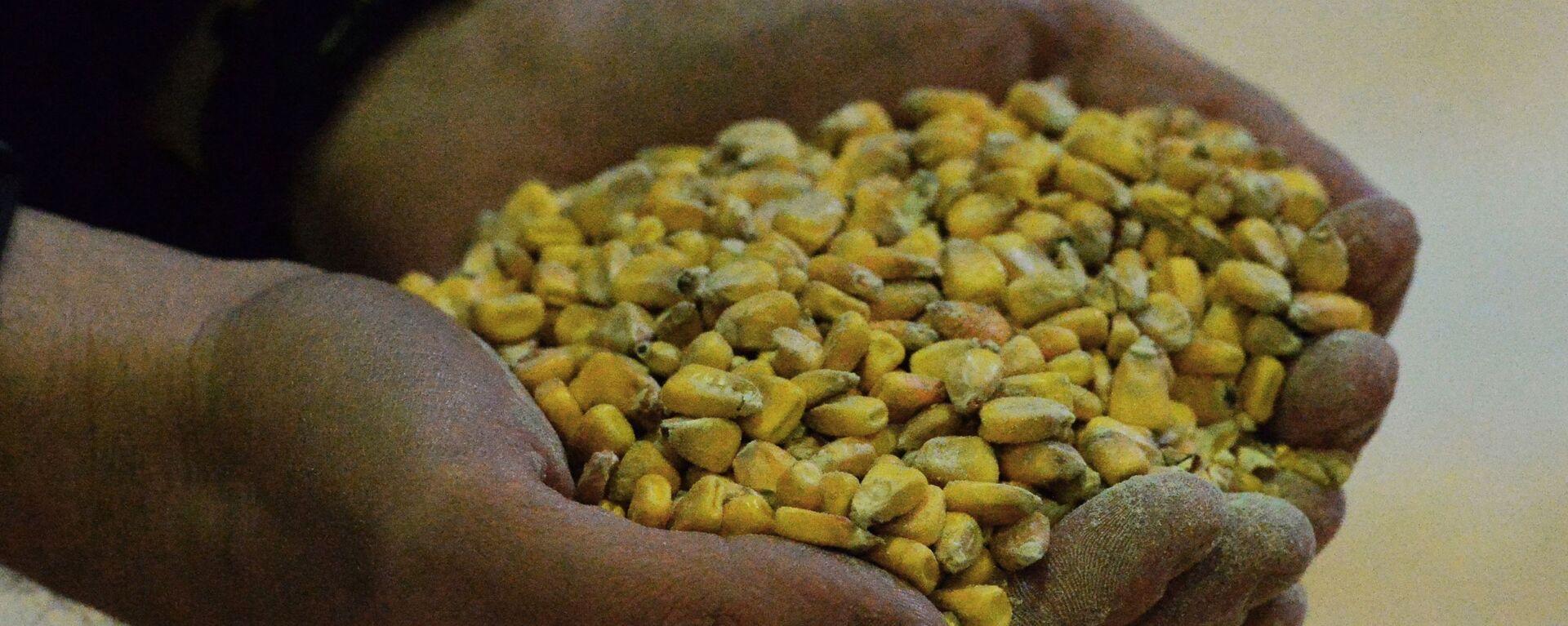Granos de maíz - Sputnik Mundo, 1920, 23.02.2021