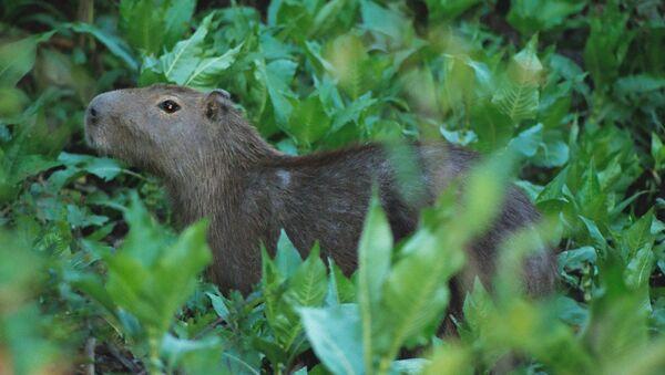 Un capibara - Sputnik Mundo