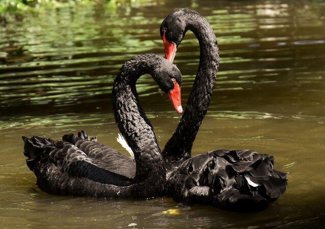 Dos cisnes negros