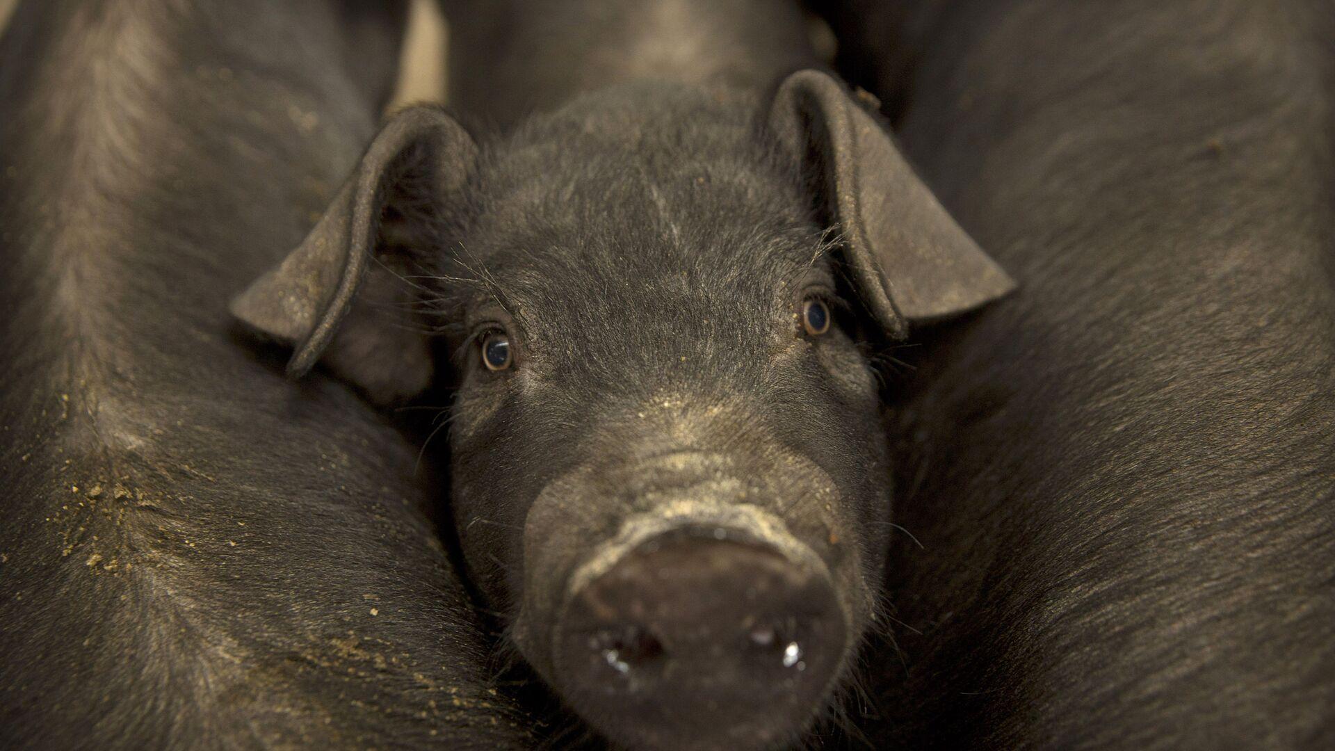 Cerdo pequeño de una granja ubicada en la villa de Jiangjiaqiao, norte de China - Sputnik Mundo, 1920, 16.07.2021