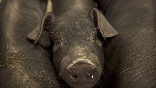 Cerdo pequeño de una granja ubicada en la villa de Jiangjiaqiao, norte de China - Sputnik Mundo