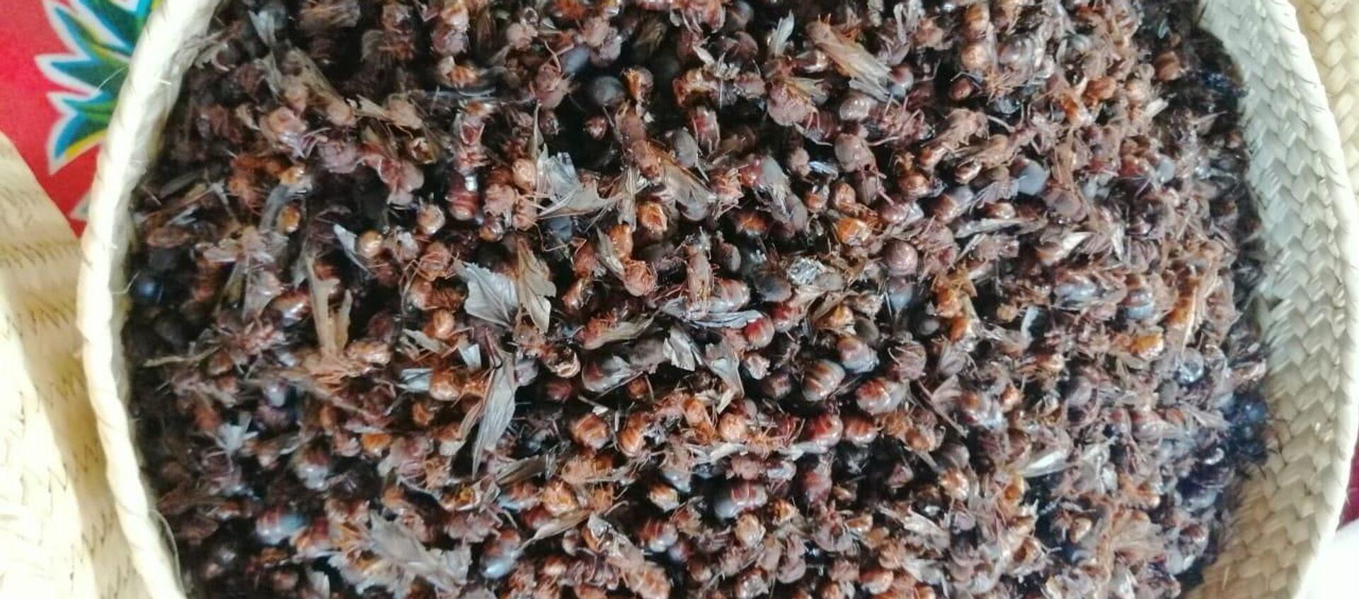 Las hormigas voladoras son un manjar de la cocina mesoamericana - Sputnik Mundo, 1920, 19.06.2019